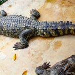 Крокодиловоя ферма и Парк миллионлетних камней в Паттайе (Таиланд)