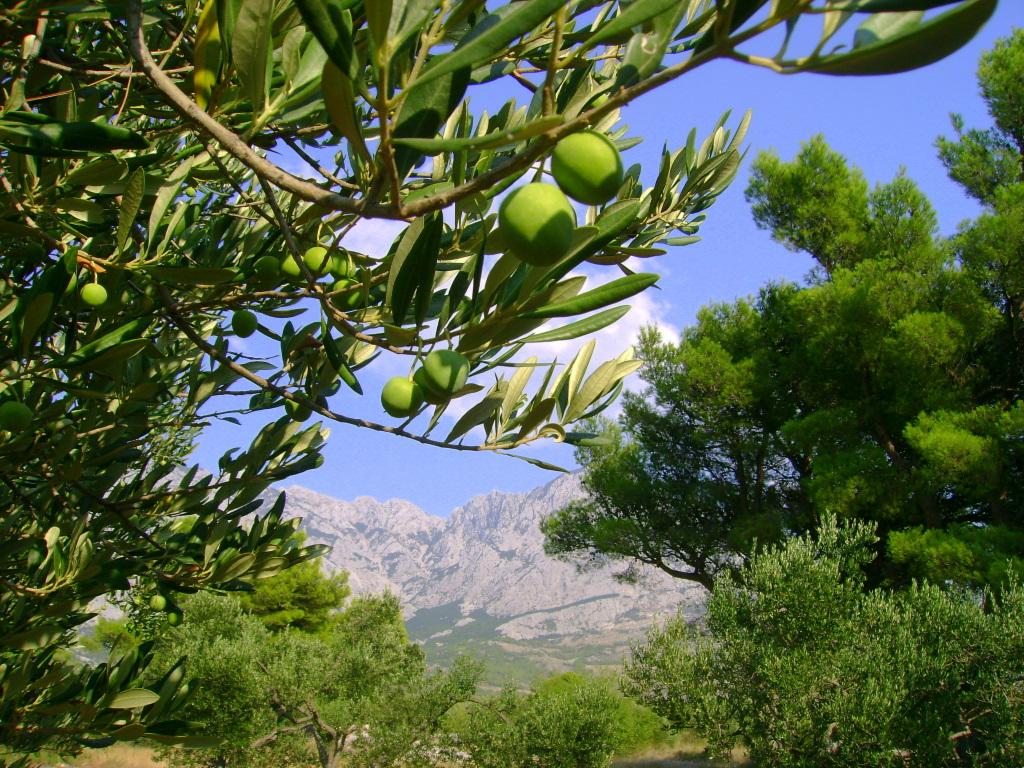 Хорватия, город Башка Вода, курорт, оливковые рощи, сосны, горы
