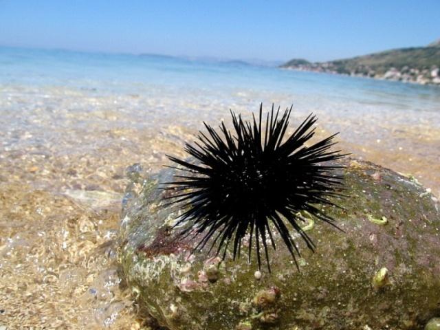Хорватия, Адриатическое море, пляж, морские ежи