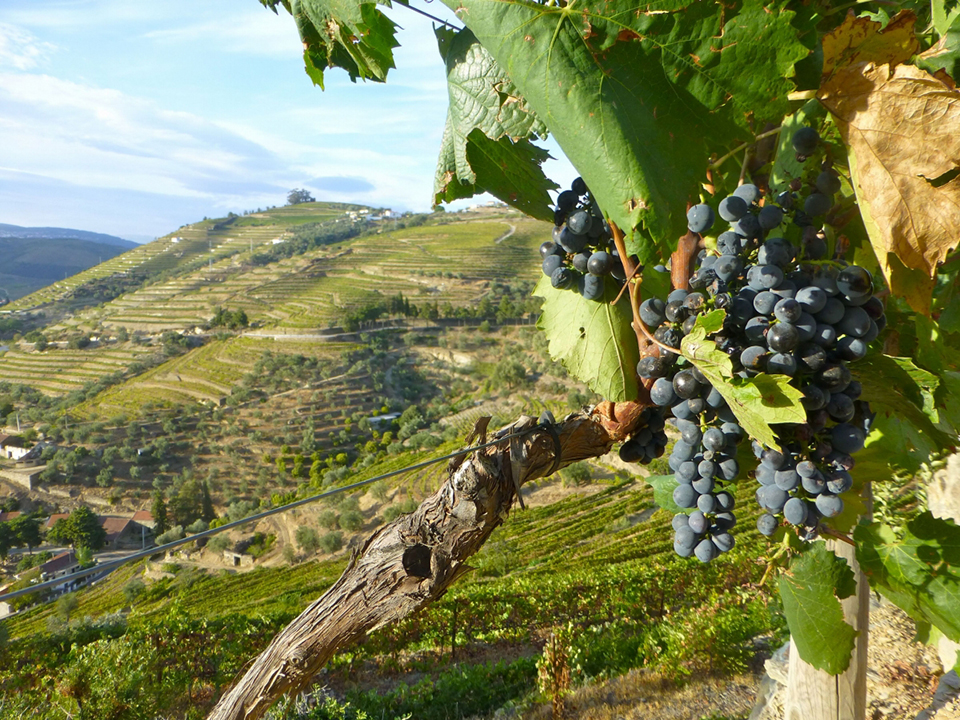 Португалия, виноградники