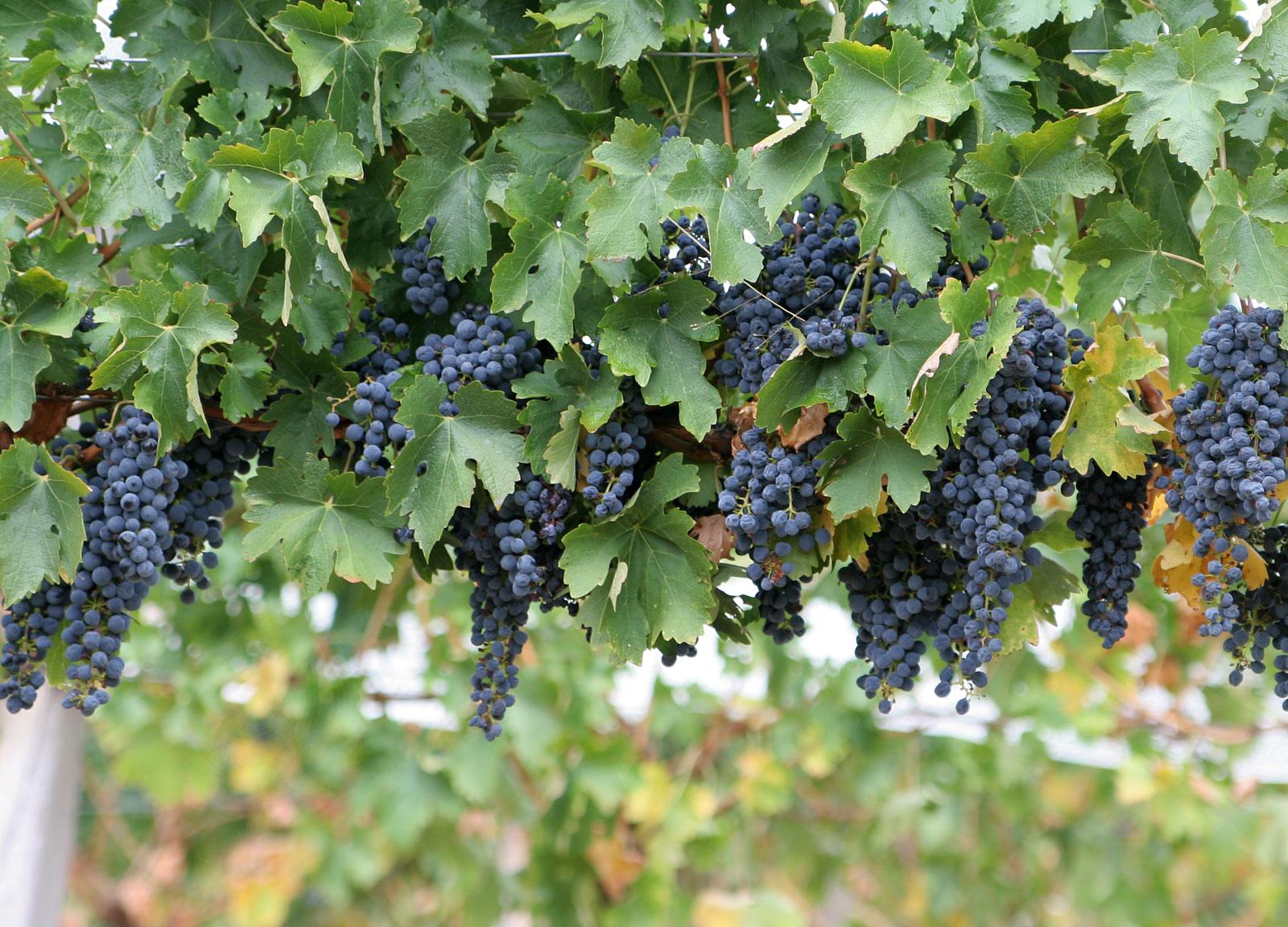 Черногория, недвижимость, дом, дача, фрукты, виноградник